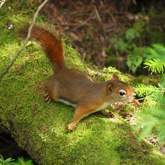 Untitled (Cokebuster) Tags: nature animal squirrel animaux roux cureuil