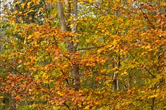 SOMETIMES YOU CAN'T SEE THE WOODS FOR THE TREES.... (mark_rutley) Tags: autumn fall leaves forest woodland woods hampshire beech beechtree fareham forestofbere