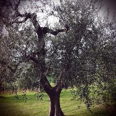 Ulivo. (Vale Shorts) Tags: travel vacation holiday fun olive tourist traveling camerabag ulivo sanminiato treavelling wwwflorencepisatourscom