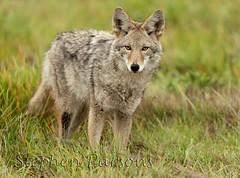 Looking (Wandering Sagebrush) Tags: coyote washington canislatrans ridgefieldnationalwildliferefuge