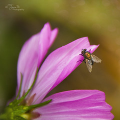 cosmos (Tracie Tee Photography) Tags: flower macro garden insect fly purple stock cosmos stockphotography veggiepatch tracie76photography tracie76