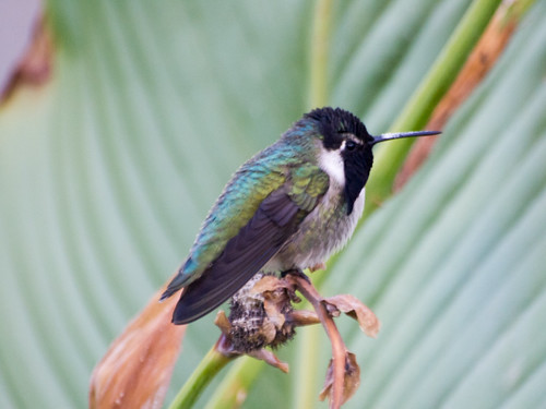 """Costa's Hummingbird • <a style=""""font-size:0.8em;"""" href=""""http://www.flickr.com/photos/59465790@N04/8176230465/"""" target=""""_blank"""">View on Flickr</a>"""