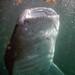 Whale Shark-2