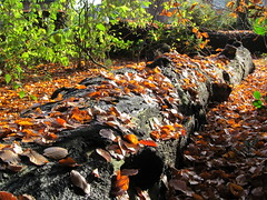 Woolton woods. (johnnyjingo) Tags: wood autumn nature leaves liverpool log woods woolton