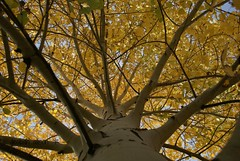 * flowing in2 sunshine with limbs * (^i^heavensdarkangel2) Tags: autumn tree nature season colorado sony perspective lookingup durango motherearth aspentree fathersky sonydslra200 desbahallison heavensdarkangel2 ihda~desbahallison autumn2012