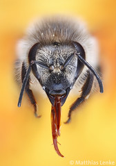 Honeybee / Honigbiene / Apis mellifera (Matthias Lenke) Tags: detail tongue insect basket head leg bein bee honey pollen load makro insekt honeybee antenne collect loads proboscis biene zunge kopf apis mellifera sammeln hymenoptera honigbiene bltenstaub apidae mikroskop krbchen pollensack corbicula specanimal pollenhschen arbeiterin saugrssel pollenpaket