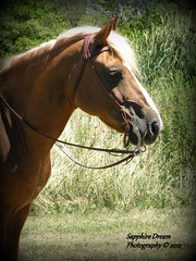 Haflinger Gelding (Sapphire Dream Photography) Tags: horses horse brown white grass riding western chestnut grasses blaze bridal equestrian wrench equine haflinger bridals equines flaxen avelignese horsephotography equestrains ambolting