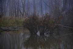 backwater (amy buxton) Tags: trees lake water fog nikon stlouis missouri wetlands couer crevecoeurlake meteorology missouririver floodplain d600 creve amybuxton november212012