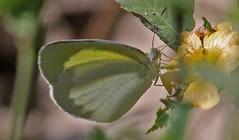 CU12_1521a (jerryoldenettel) Tags: white butterfly insect cuba sulphur 2012 pieridae eurema euremadaira barredsulphur cu12imagery cu121521ajpg
