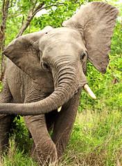 South Africa, Kruger National Park (JoCo Knoop) Tags: southafrica ngc npc krugernationalpark rememberthatmomentlevel4 rememberthatmomentlevel1 rememberthatmomentlevel2 rememberthatmomentlevel3 me2youphotographylevel2 me2youphotographylevel3 me2youphotographylevel1 me2youphotographylevel4