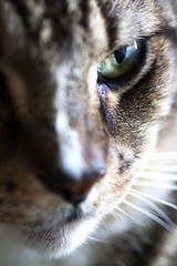 Hunter (DFChurch) Tags: pet eye face cat feline tabby hunter