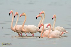Flamingo, Kuwait Birds. (MOHAMMED AL-SALEH) Tags: bird birds photography wildlife flamingo kuwait birdwatching mohammad  birdphotography  wildlifephotography birdswatcher alsaleh birdsofkuwait    mohammadalsaleh  birdsphotography