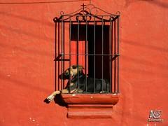 Aos de perro (Erick Aldana - Fotografia social y artistica) Tags: dog pet pets dogs animal animals guatemala perro antigua perros balcon chill antiguaguatemala