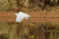 Hopping Snowy Egret (Arizphotodude) Tags: camping arizona bird nature water birds animal animals flying wings nikon wildlife birding flight sigma az gilbert nikkor avian 2012 snowyegret ariz gilbertaz gilbertriparianpreserve riparianpreserve d7k 150500mm d7000 sigma150500 nikond7000 riparianranchatwaterpreserve brucewolke