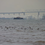 Brant in front of the Outerbridge Crossing thumbnail