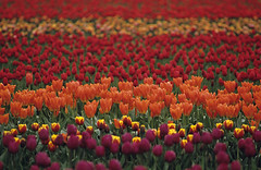 Multi-colored tulip fields (Jim Corwin's PhotoStream) Tags: travel plants flower texture tourism nature ecology beautiful beauty field garden landscape botanical outdoors spring flora colorful pretty nw pattern commerce northwest bright market blossom gardening farm vibrant farming sightseeing grow scenic peaceful farmland symmetry growth serenity bloom pacificnorthwest northamerica environment crops annual pollen agriculture delicate multicolored inspire idyllic abundance tranquil mothernature inspiring plantlife cultivation selectivefocus splendor tranquilscene uplifting pollination cultivate fragility beautyinnature plentiful tulipagesneriana localeconomy localattractions photographyhorizontal