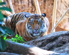 Indah  - In Attack Formation (Sumatra-Tiger) Tags: portrait toronto animal cat wonderful asian zoo tokyo spain eyes mr ueno kali tiger honey beast sweetheart charming indah tijger darling carnivorous tigris tigre bigcats sumatran fuengirola hypnotic the spaniard  predetor uenozoologicalgardens flesheating sumatratiger tygr tiikeri  pantheratigrissumatrae sumatraansetijger rengat asiancat brytne charmingeyes tigredesumatra khunde  sumatrantiikeri harimausumatera sumatrakaplan tygrsumatersk tygryssumatrzaski  szumtraitigris       hsumatra