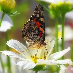 HBW ! (Lara-queen) Tags: light summer canada flower color macro nature fleur quebec magog lumire t couleur 2012 estrie photomix 500x500 macromix quynhvu laraqueen canonpowershotsx30is besteverdigitalphotography