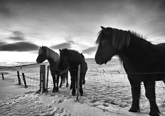 Icelandic Horses in Wintery Iceland (` Toshio ') Tags: winter horse snow cold animal clouds sunrise fence iceland europe european tracks pony hoof mane toshio icelandichorse icelandicpony