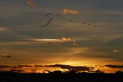 Canada Geese Flying At Sunset (dcstep) Tags: sunset usa nature geese colorado urbannature urbanwildlife dxo canadageese allrightsreserved bif birdinflight cherrycreekstatepark ef70200mmf4lis pixelpeeper canon7d ef14xtc copyright2012davidcstephens dxoopticspro80 mg3539dxo