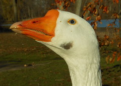 Blue Eyed Goose (clyde7995) Tags: park nyc birds animals closeup geese funny statenisland mothergoose willowbrookpark redcarpethalloffame bestofredcarpethalloffame