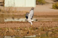 Flying under the radar... (Arizphotodude) Tags: arizona nature water birds animal animals flying wings nikon hawk wildlife birding flight sigma az raptor gilbert nikkor northern avian birdofprey harrier ariz gilbertaz gilbertriparianpreserve riparianpreserve d7k 150500 d7000 nikond7000 riparianranchatwaterpreserve brucewolke