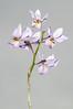 Barkeria whartoniana - 2012-12-09-_DSC3928 (jakobae) Tags: tag herbst pflanzen orchidaceae gewächshaus orchideen gärten greenhaus blütenpflanzen spermatophyta samenpflanzen infloreszenz magnoliophytina bedecktsamigepflanzen 01jakob gartenundgewächshauspflutiere blütenstandblüten gartenundgewächshaus pflutiere angiospermaebedecktsamige barkeriawarthonianabtyp7gekfeb2011inbern