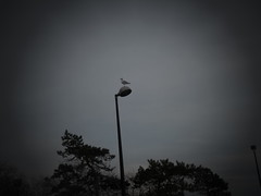 P1220083_Seagull on Lamppost distant shot by Anthony McNally (aprm718_3) Tags: nyc trees sky bird brooklyn campus december seagull lamppost manhattanbeach 2012 cuny kingsborough amateurphotography kingsboroughcommunitycollege anthonymcnallyphotography aprm718