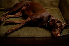 end of a long day (StivicH) Tags: dog lab chocolate tired roo