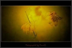 Smooth heath - Heideblüte (Pana53) Tags: smooth heath myart erika sittensen heideblüte pana53 photographedbypana53