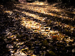 A thousand leaves on my way (tantake) Tags: autumn winter japan lumix tokyo leaf      gx1 dmcgx1