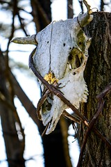 Displayed (LauraJSwindle) Tags: travel usa ny newyork tree display farm 85mm longisland bark mounted bones eastcoast sockets 2016 animalskulls wantagh animalbones hoytfarms natureanddecay nikond7100