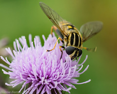 hoverfly on knapweed. waving to me. (RCB4J) Tags: commonknapweed ayrshire rcb4j ronniebarron scotland sonyslta77v tamronspaf90mmf28dimacro11 art bokeh flowers insects macro photography