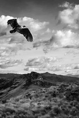 Black Vulture (www.ricardosilvestre.com) Tags: sky mountains bird nature ecuador eagle vulture cajas