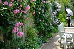 (Minami45) Tags: xpro1 fujifilm rose tokyo japan      pink