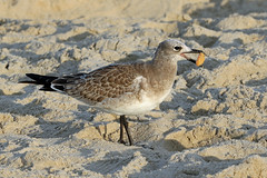 Laughing Gull Juvenile with cracker...6O3A4833A (dklaughman) Tags: laughing gull bird rehobothbeach delaware