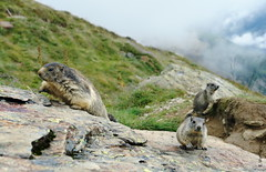 Tier-therapie :) (welenna) Tags: alpen animals alps switzerland summer schwitzerland stone berge mountains mist mountain marmot murmeltier tiere wallis saasfee tiertherapie spielboden