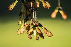 Ahorn - maple (Elbmaedchen) Tags: blten ahorn maple maplefruit bokeh nature natur