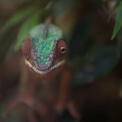 chamleon (waffelbaer) Tags: green terrarientiere chamleon reptil chamaeleonidae