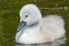 HNS_5328 Knobbelzwaan juv : Cygne tubercule : Cygnus olor : Hockerschwan : Mute Swan