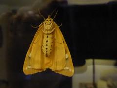 Tiger moth (JuliaC2006) Tags: tiger moth euplagiaquadripunctaria jersey underside