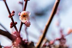 (Arthur Hsieh) Tags: 2016 nikon d750  japan  osaka     plum