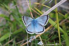 Chalk Hill Blue (Animal Al 18) Tags: polyommatuscoridion polyommatuscoridon chalkhillblue uk butterfly lepidoptera canon canon70d canon50mm14 50mmf14 extentiontubes devilsdyke suffolk newmarket