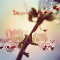 Manjerico (rvcroffi) Tags: basil mextures micro mini natureza nature close macro floresbrancas whiteflowers flower flor manjerico