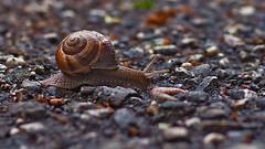 It's a stony way (neya25) Tags: unschrfe schrfeverlauf bokeh stones steine schnecke weinbergschnecke snail olympusomdem10 panaleica25mm