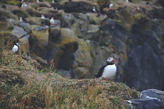 Puffins at Dyrhlaey (smnschrbtsky) Tags: puffin papageientaucher birds iceland island nature natur