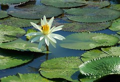 DP1U4103 (c0466art) Tags: 2016 summer season lotus field  wate rlilies cloom colorful flowers scenery landscape canon 1dx c0466art