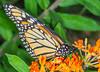 Monarch #3 (ScreaminScott) Tags: butterfly monarch butterflyweed
