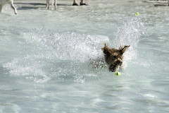 IMG_9545 (kris10pix) Tags: dogpaddle2016 dogs puppies puppy splash pool fetch dog wisconsin capitolk9s mutts purebreed leap madisonwi goodmanspool wetdog summer