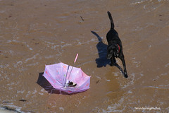 Dog chasing the stray umbrella - Seaton Sluice Beach Northumberland England (WanderingPhotosPJB) Tags: umbrella england northumberland seatonsluice beach sea surf dog pink